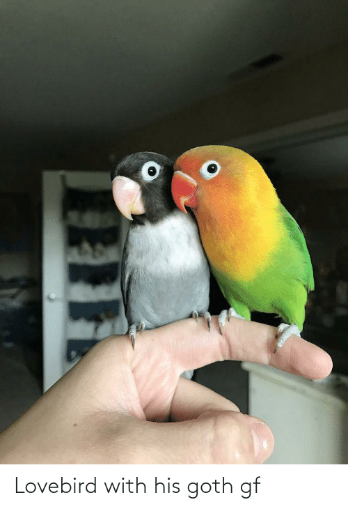 Goth,  Lovebird, and With: Lovebird with his goth gf