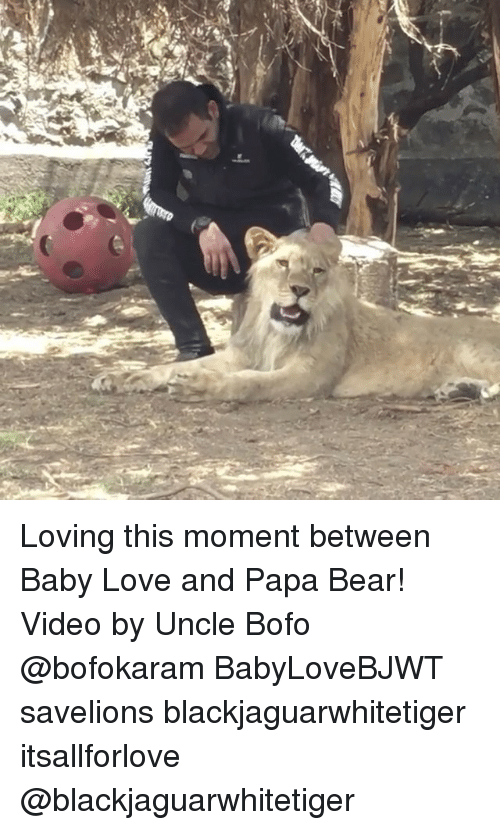 papa bear: Loving this moment between Baby Love and Papa Bear! Video by Uncle Bofo @bofokaram BabyLoveBJWT savelions blackjaguarwhitetiger itsallforlove @blackjaguarwhitetiger