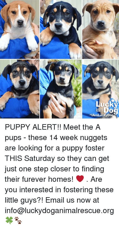 animated dog: Lucky  Animal  Dog  #IAmLucky Rescue PUPPY ALERT!! Meet the A pups - these 14 week nuggets are looking for a puppy foster THIS Saturday so they can get just one step closer to finding their furever homes! ❤ . Are you interested in fostering these little guys?! Email us now at info@luckydoganimalrescue.org 🍀🐾
