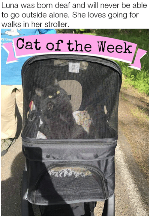 Being Alone, Memes, and Never: Luna was born deaf and will never be able  to go outside alone. She loves going for  walks in her stroller.  Cat of the Week