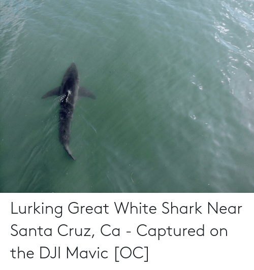 Santa Cruz: Lurking Great White Shark Near Santa Cruz, Ca - Captured on the DJI Mavic [OC]