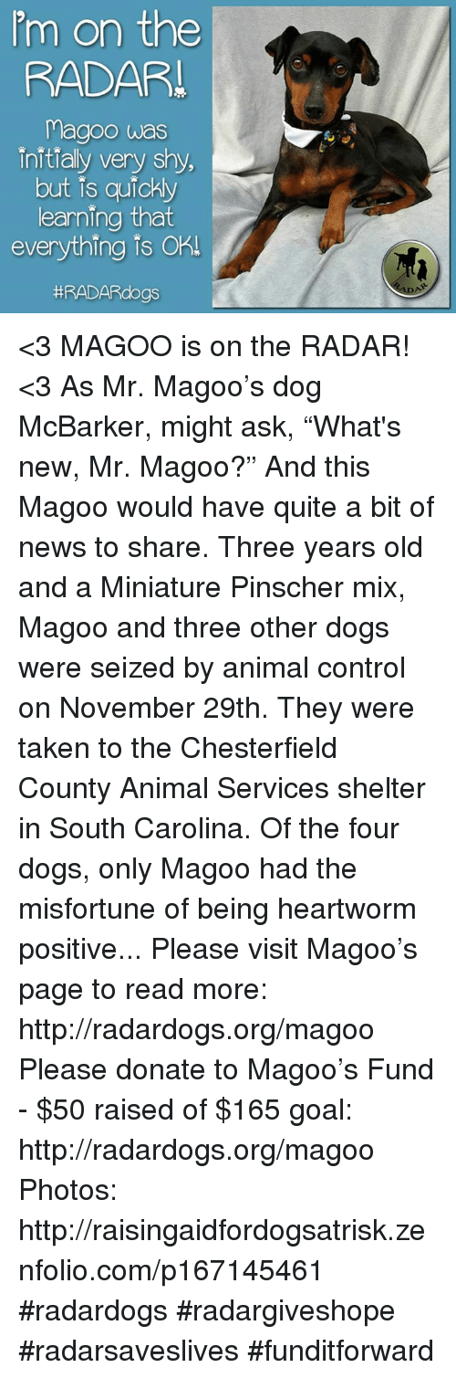 """Misfortunately: 'm on the  RADAR  Magoo was  initialy very shy,  but is quickly  earning that  everything is Oh  #RADAR dogs <3 MAGOO is on the RADAR! <3  As Mr. Magoo's dog McBarker, might ask, """"What's new, Mr. Magoo?"""" And this Magoo would have quite a bit of news to share. Three years old and a Miniature Pinscher mix, Magoo and three other dogs were seized by animal control on November 29th. They were taken to the Chesterfield County Animal Services shelter in South Carolina. Of the four dogs, only Magoo had the misfortune of being heartworm positive...  Please visit Magoo's page to read more: http://radardogs.org/magoo  Please donate to Magoo's Fund - $50 raised of $165 goal: http://radardogs.org/magoo  Photos: http://raisingaidfordogsatrisk.zenfolio.com/p167145461  #radardogs #radargiveshope #radarsaveslives #funditforward"""