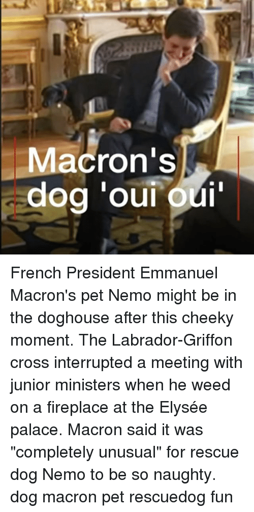 "rescue dog: Macron's French President Emmanuel Macron's pet Nemo might be in the doghouse after this cheeky moment. The Labrador-Griffon cross interrupted a meeting with junior ministers when he weed on a fireplace at the Elysée palace. Macron said it was ""completely unusual"" for rescue dog Nemo to be so naughty. dog macron pet rescuedog fun"
