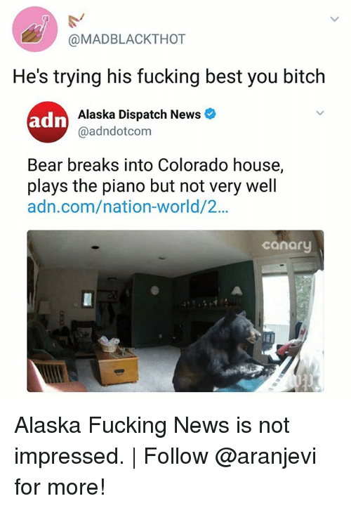 Bitch, Fucking, and Memes: @MADBLACKTHOT  He's trying his fucking best you bitch  Alaska Dispatch News  @adndotcom  Bear breaks into Colorado house,  plays the piano but not very well  adn.com/nation-world/2...  canary Alaska Fucking News is not impressed. | Follow @aranjevi for more!