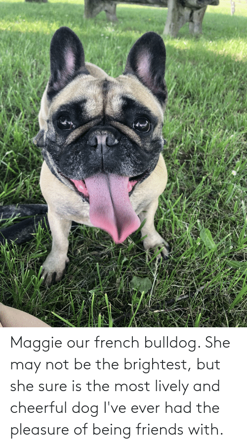 french bulldog: Maggie our french bulldog. She may not be the brightest, but she sure is the most lively and cheerful dog I've ever had the pleasure of being friends with.