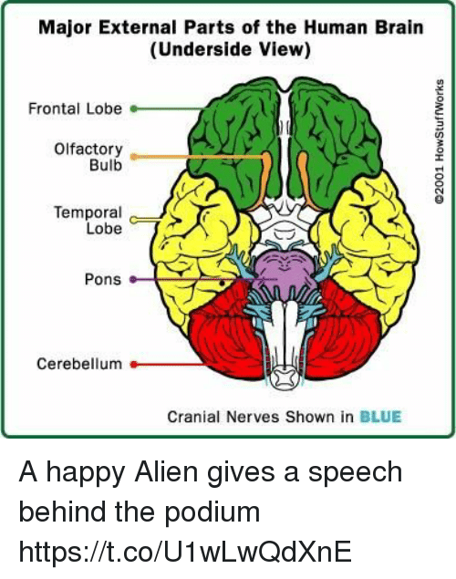 temporal: Major External Parts of the Human Brain  (Underside View)  Frontal Lobe  Olfactory  Bulb  Temporal c )>  Lobe  Pons  Cerebellum  Cranial Nerves Shown in BLUE A happy Alien gives a speech behind the podium https://t.co/U1wLwQdXnE