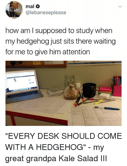 "Memes, Grandpa, and Desk: mal v  @lebaneseplease  how am l supposed to study when  my hedgehog just sits there waiting  for me to give him attention ""EVERY DESK SHOULD COME WITH A HEDGEHOG"" - my great grandpa Kale Salad III"