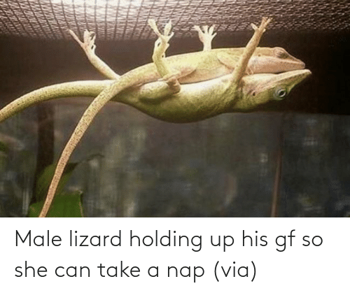 Gf: Male lizard holding up his gf so she can take a nap (via)