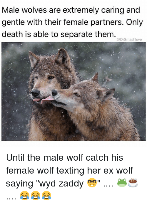 "Memes, Texting, and Wyd: Male wolves are extremely caring and  gentle with their female partners. Only  death is able to separate them.  @DrSmashlove Until the male wolf catch his female wolf texting her ex wolf saying ""wyd zaddy 🤓"" .... 🐸☕️ .... 😂😂😂"