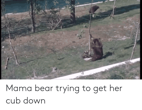 mama bear: Mama bear trying to get her cub down