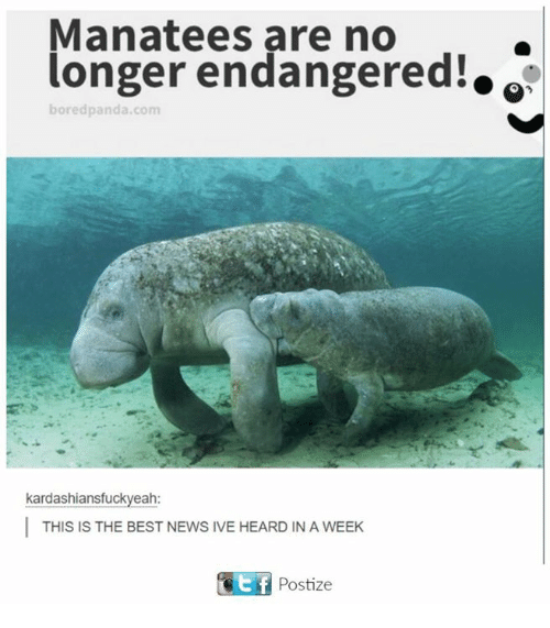 Bored, News, and Panda: Manatees are no  longer endangered!.  bored panda com  kardashiansfuckyeah:  I THIS IS THE BEST NEWS IVE HEARD IN A WEEK  KEf Postize