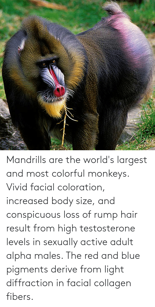 Sexually: Mandrills are the world's largest and most colorful monkeys. Vivid facial coloration, increased body size, and conspicuous loss of rump hair result from high testosterone levels in sexually active adult alpha males. The red and blue pigments derive from light diffraction in facial collagen fibers.