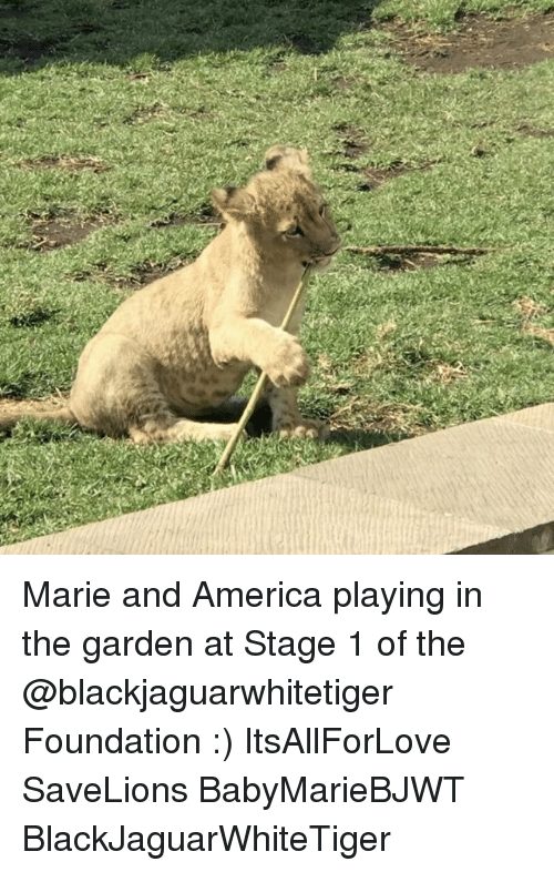 America, Memes, and 🤖: Marie and America playing in the garden at Stage 1 of the @blackjaguarwhitetiger Foundation :) ItsAllForLove SaveLions BabyMarieBJWT BlackJaguarWhiteTiger