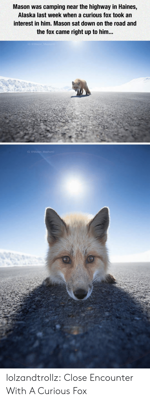 The Fox: Mason was camping near the highway in Haines,  Alaska last week when a curious fox took an  interest in him. Mason sat down on the road and  the fox came right up to him... lolzandtrollz:  Close Encounter With A Curious Fox