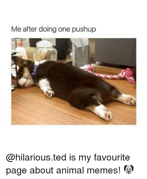 Animal Meme: Me after doing one pushup @hilarious.ted is my favourite page about animal memes! 🐶