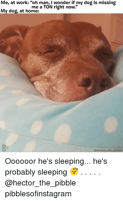 """hector: Me, at work: """"oh man, I wonder if my dog is missing  My dog, at home:  me a TON right now.""""  @hector_the pibble Oooooor he's sleeping... he's probably sleeping 😴 . . . . . @hector_the_pibble pibblesofinstagram"""