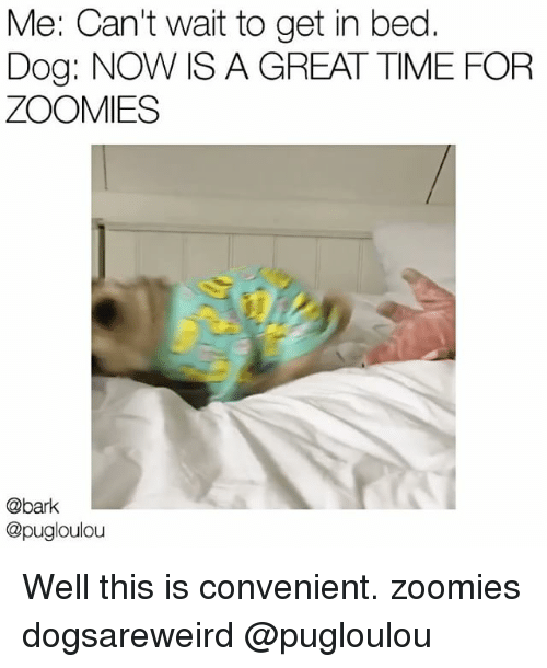 Zoomies: Me: Can't wait to get in bed.  Dog: NOW IS A GREAT TIME FOR  ZOOMIES  @bark  @pugloulou Well this is convenient. zoomies dogsareweird @pugloulou