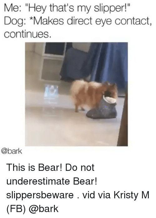 "Memes, Bear, and 🤖: Me: ""Hey that's my slipper!  Dog: *Makes direct eye contact,  continues.  @bark This is Bear! Do not underestimate Bear! slippersbeware . vid via Kristy M (FB) @bark"