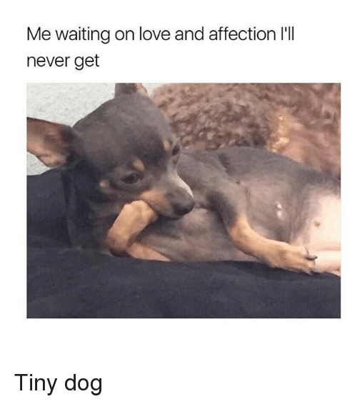 Love, Girl Memes, and Never: Me waiting on love and affection I'll  never get Tiny dog