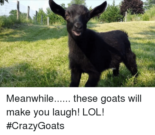 Memes, Goat, and 🤖: Meanwhile...... these goats will make you laugh! LOL! #CrazyGoats