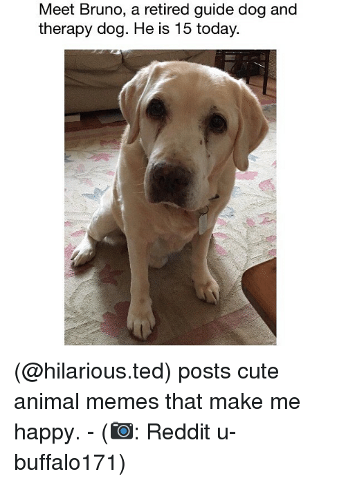 Cute, Memes, and Reddit: Meet Bruno, a retired guide dog and  therapy dog. He is 15 today. (@hilarious.ted) posts cute animal memes that make me happy. - (📷: Reddit u-buffalo171)