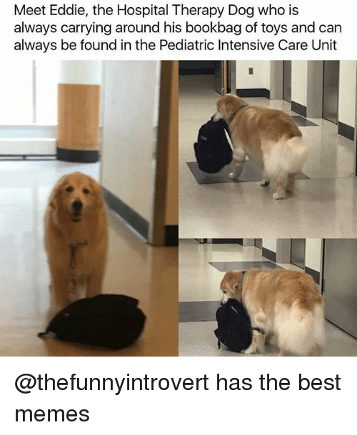 Funny, Memes, and Best: Meet Eddie, the Hospital Therapy Dog who is  always carrying around his bookbag of toys and can  always be found in the Pediatric Intensive Care Unit @thefunnyintrovert has the best memes