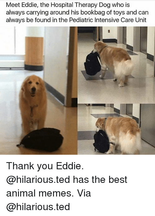 Memes, Ted, and Thank You: Meet Eddie, the Hospital Therapy Dog who is  always carrying around his bookbag of toys and can  always be found in the Pediatric Intensive Care Unit Thank you Eddie. @hilarious.ted has the best animal memes. Via @hilarious.ted