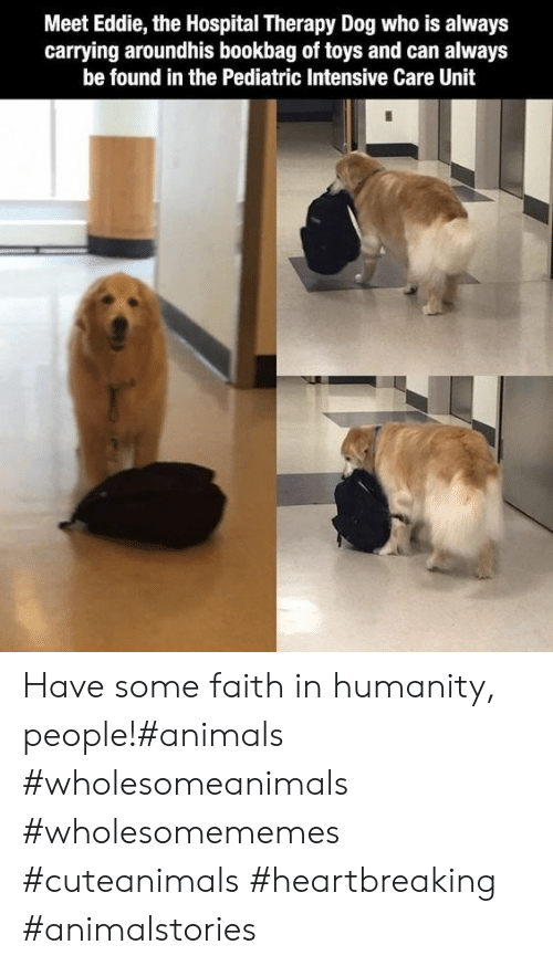 Eddie: Meet Eddie, the Hospital Therapy Dog who is always  carrying aroundhis bookbag of toys and can always  be found in the Pediatric Intensive Care Unit Have some faith in humanity, people!#animals #wholesomeanimals #wholesomememes #cuteanimals #heartbreaking #animalstories