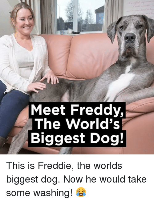 Memes, 🤖, and Freddy: Meet Freddy  The World's  Biggest Dog! This is Freddie, the worlds biggest dog. Now he would take some washing! 😂