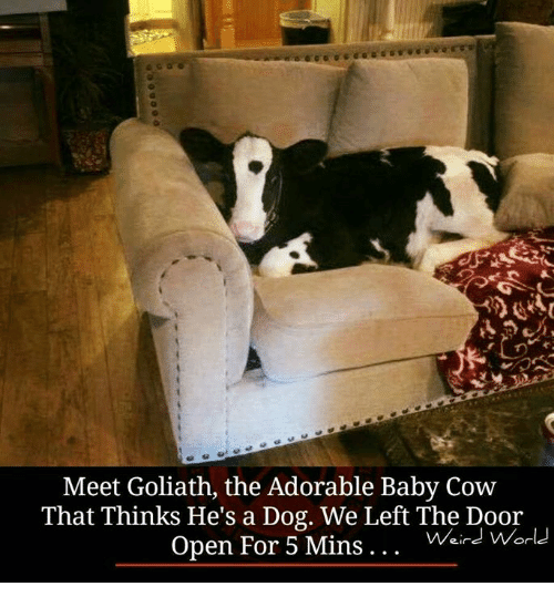 Baby, It's Cold Outside, Dogs, and Memes: Meet Goliath, the Adorable Baby Cow  That Thinks He's a Dog. We Left The Door  Open For 5 Mins  Weird World