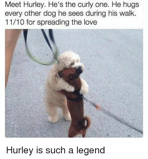 Love, Memes, and 🤖: Meet Hurley. He's the curly one. He hugs  every other dog he sees during his walk.  11/10 for spreading the love Hurley is such a legend