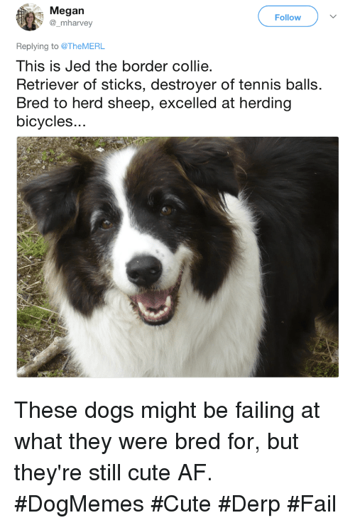 herding: Megan  @_mharvey  Follow  Replying to @TheMERL  This is Jed the border collie  Retriever of sticks, destroyer of tennis balls.  Bred to herd sheep, excelled at herding  bicycles.. These dogs might be failing at what they were bred for, but they're still cute AF. #DogMemes #Cute #Derp #Fail