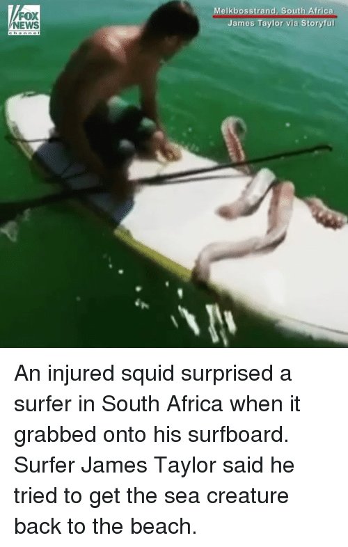 Africa, Memes, and News: Melkbosstrand,  FOX  NEWS  James Taylor via Storyful An injured squid surprised a surfer in South Africa when it grabbed onto his surfboard. Surfer James Taylor said he tried to get the sea creature back to the beach.