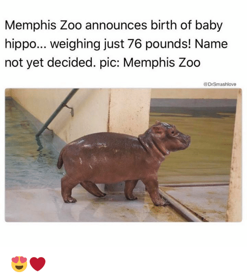 Memes, Baby, and Baby Hippo: Memphis Zoo announces birth of baby  hippo... weighing just 76 pounds! Name  not yet decided. pic: Memphis Zoo  @Dr Smashlove 😍❤️