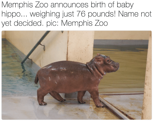 Baby Hippo: Memphis Zoo announces birth of baby  hippo... Weighing just 76 pounds! Name not  yet decided. pic: Memphis Zoo