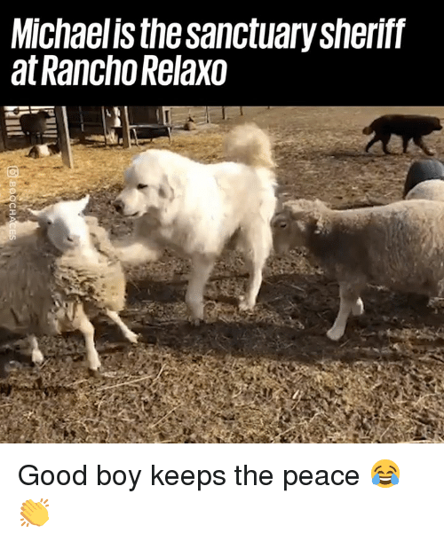 sheriff: Michaelis the sanctuary sheriff  at Rancho Relaxo Good boy keeps the peace 😂👏