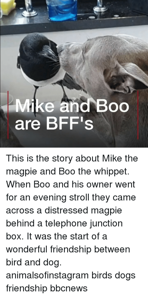 Boo, Dogs, and Memes: Mike and Boo  are BFF's This is the story about Mike the magpie and Boo the whippet. When Boo and his owner went for an evening stroll they came across a distressed magpie behind a telephone junction box. It was the start of a wonderful friendship between bird and dog. animalsofinstagram birds dogs friendship bbcnews