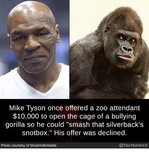 """caging: Mike Tyson once offered a zoo attendant  $10,000 to open the cage of a bullying  gorilla so he could """"smash that silverback's  snotbox."""" His offer was declined  Photo courtesy of birzer/wikimedia  @factsweird"""
