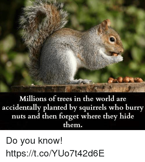 do squirrels remember where they bury They don't remember where they left every bit of food some of the nuts and seeds they bury will sprout into  do squirrels hibernate easy science.