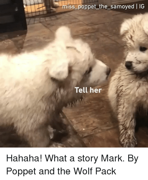 Dank, Wolf, and 🤖: miss_poppet the_samoyed IG  Tell her Hahaha! What a story Mark.  By Poppet and the Wolf Pack
