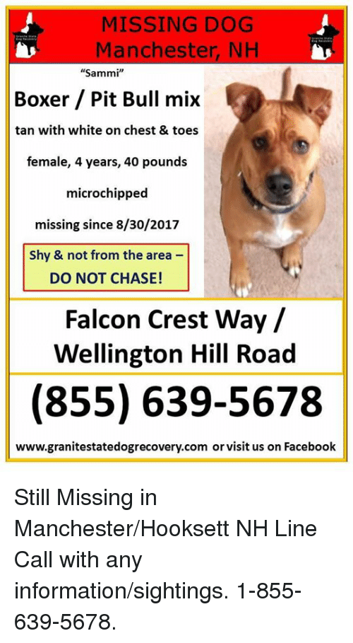 """falcone: MISSING DOG  Manchester, NH  """"Sammi""""  Boxer Pit Bull mix  tan with white on chest & toes  female, 4 years, 40 pounds  microchipped  missing since 8/30/2017  Shy & not from the area  DO NOT CHASE!  Falcon Crest Way/  Wellington Hill Road  (855) 639-5678  www.granitestatedogrecovery.com or visit us on Facebook Still Missing in Manchester/Hooksett NH Line   Call with any information/sightings. 1-855-639-5678."""