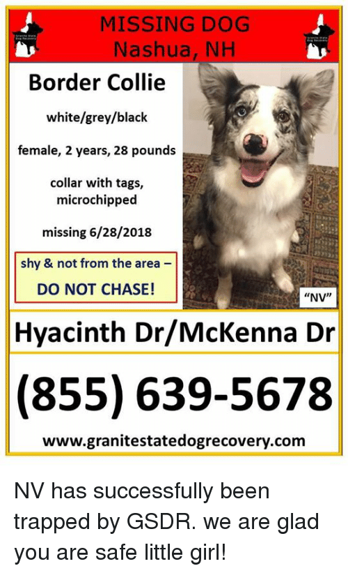 missing dog nashua nh border collie white grey black female 2 years 34500055 🔥 25 best memes about border collie border collie memes
