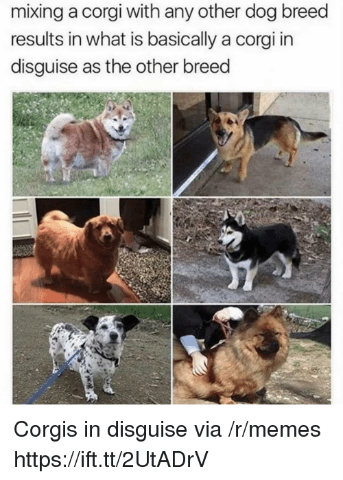 Mixing: mixing a corgi with any other dog breed  results in what is basically a corgi in  disguise as the other breed Corgis in disguise via /r/memes https://ift.tt/2UtADrV