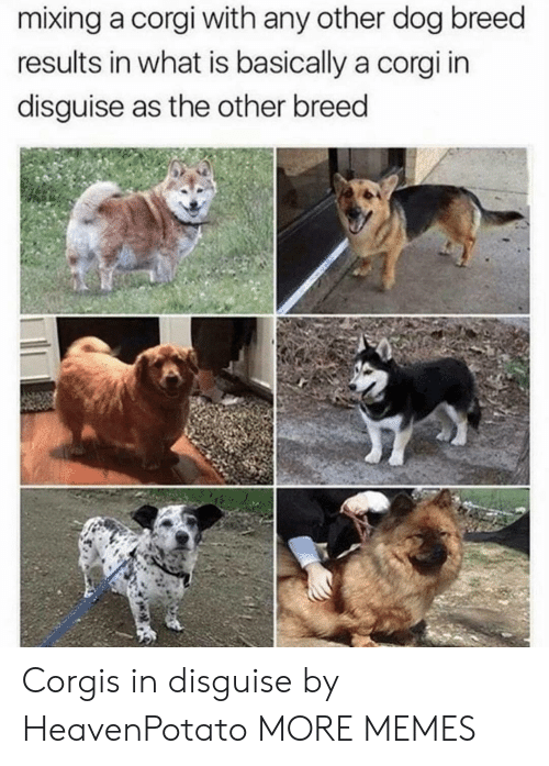 Mixing: mixing a corgi with any other dog breed  results in what is basically a corgi in  disguise as the other breed Corgis in disguise by HeavenPotato MORE MEMES