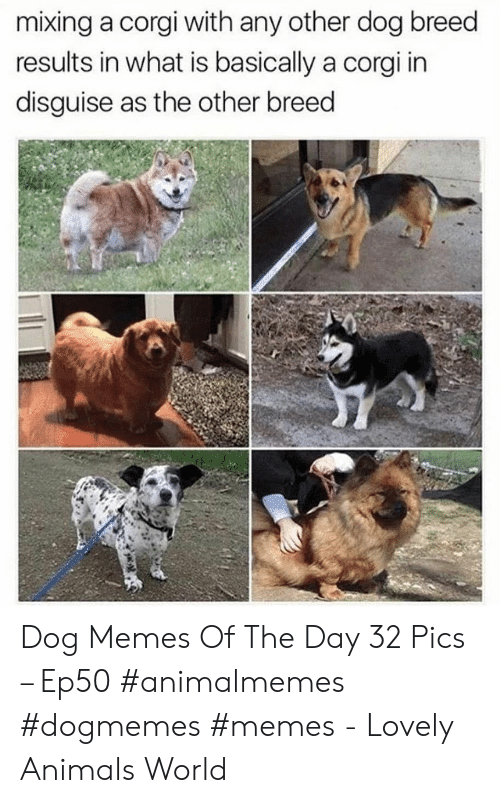 Mixing: mixing a corgi with any other dog breed  results in what is basically a corgi in  disguise as the other breed Dog Memes Of The Day 32 Pics – Ep50 #animalmemes #dogmemes #memes - Lovely Animals World