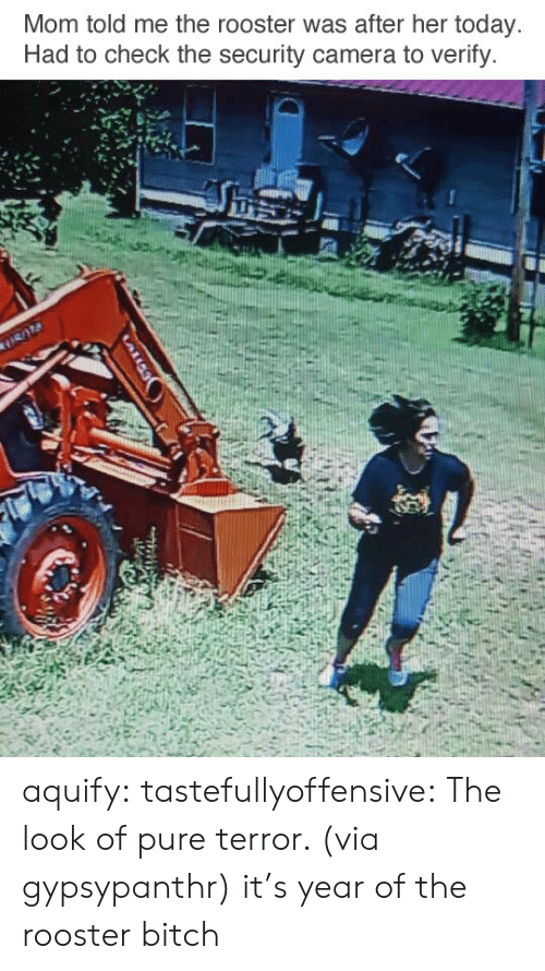 security camera: Mom told me the rooster was after her today  Had to check the security camera to verify. aquify: tastefullyoffensive: The look of pure terror. (via gypsypanthr) it's year of the rooster bitch
