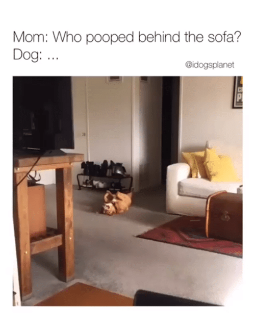 Pooped: Mom: Who pooped behind the sofa?  Dog: ..  @idogsplanet