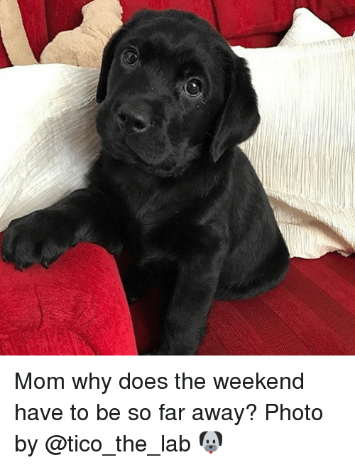 tico: Mom why does the weekend have to be so far away? Photo by @tico_the_lab 🐶