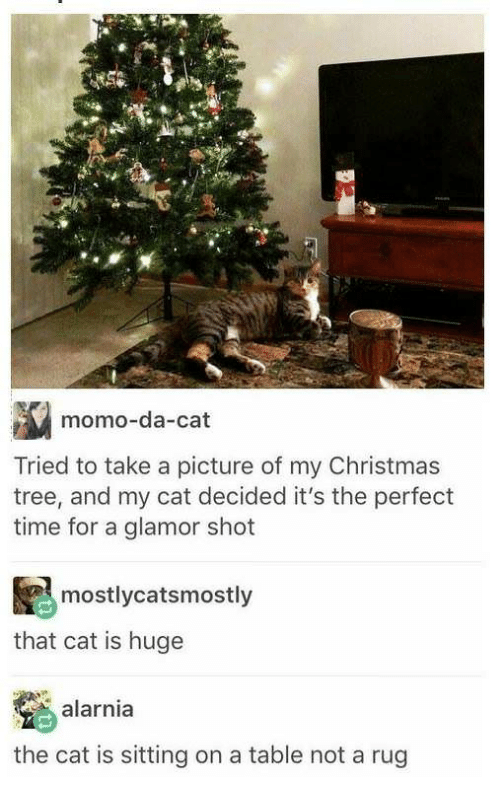 Christmas, Christmas Tree, and Time: momo-da-cat  Tried to take a picture of my Christmas  tree, and my cat decided it's the perfect  time for a glamor shot  mostlycatsmostly  that cat is huge  alarnia  the cat is sitting on a table not a rug