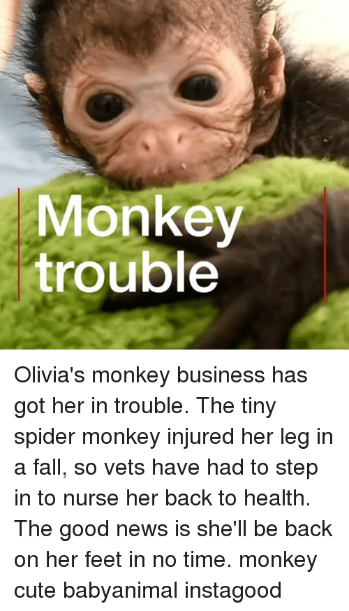 Cute, Fall, and Memes: Monkey  trouble Olivia's monkey business has got her in trouble. The tiny spider monkey injured her leg in a fall, so vets have had to step in to nurse her back to health. The good news is she'll be back on her feet in no time. monkey cute babyanimal instagood